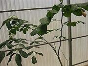 Gardenology.org-IMG 8000 qsbg11mar.jpg