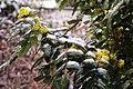 Garten Valentinhaus Mahonia 03.jpg