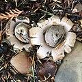 Geastrum saccatum 98979443.jpg