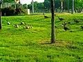 Geese and their Goslings - panoramio.jpg