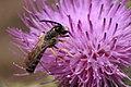Gelbbindige Furchenbiene Halictus scabiosae 3179.jpg