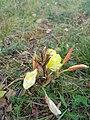 Gele Bloom 1 an'n Bullenbarg bi Nindörp 06.jpg