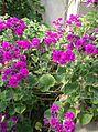 Geraniales - Pelargonium cucullatum 'Flore Pleno' - kew.jpg