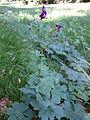 Geranium phaeum subsp. phaeum sl3.jpg