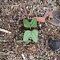Germinación de planta Ipomoea.jpg