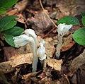 Ghost Plants (9252042008).jpg