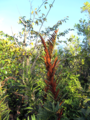Giant-leather-fern with sori (8600844410).png