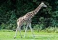 Giraffa - Serengeti-Park Hodenhagen 2017 01.jpg