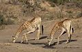 Giraffe, Giraffa camelopardalis at Mahone Loop, Punda Maria, Kruger National Park, South Africa (20199326003).jpg
