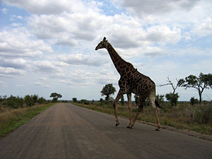 Great Limpopo Transfrontier Park - Image: Giraffe crossing the road in Kruger National Park