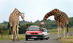 Giraffes being fed by visitors in the West Midlands Safari Park