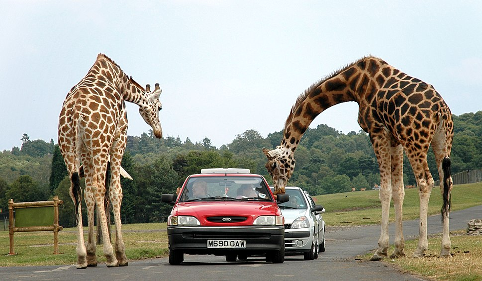 Giraffes at west midlands safari park