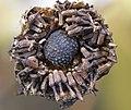 Glebionis segetum fruit (02).jpg