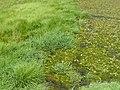 Glyceria notata plant (04).jpg