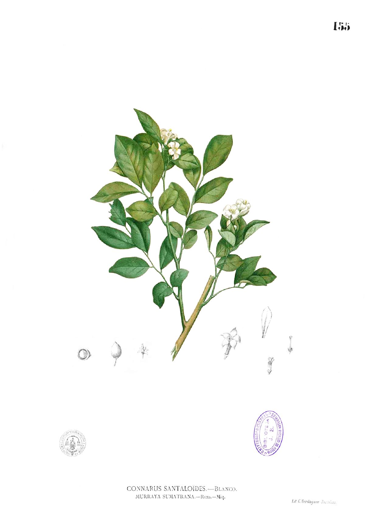 Glycosmis Pentaphylla Correa | gaaponisubppat