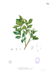 Glycosmis pentaphylla Blanco1.155.png