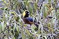 Golden-collared Tanager (Iridosornis jelskii) (9496945399).jpg