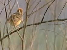 Paypay:Golden-headed Cisticola94.ogv