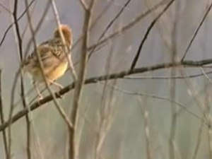 Dosiero:Golden-headed Cisticola94.ogv