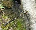 Golden-ringed Dragonfly (Cordulegaster boltonii) - geograph.org.uk - 1148863.jpg