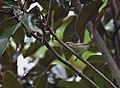 Golden-winged Warbler (29517233081).jpg