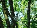 Golub grivnaš (Columba palumbus), Wood Pigeon.jpg