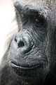 Gorilla gorilla at the Bronx Zoo 020.jpg