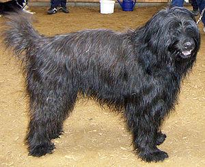 Catalan Sheepdog - Image: Gos d'Atura Catala