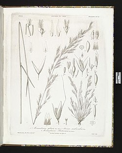 Gramineae Chilenses (Tab. 79) BHL273584.jpg