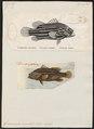 Grammistes orientalis - - Print - Iconographia Zoologica - Special Collections University of Amsterdam - UBA01 IZ12900263.tif