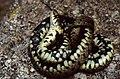 Grass Snake (Natrix natrix) feigning death ... (35619289753).jpg