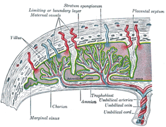 Placental microbiome - Placenta and its tissue layers