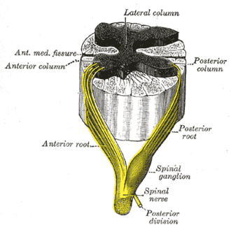 Lateral grey column - A spinal nerve with its anterior and posterior roots (lateral column labeled at top)