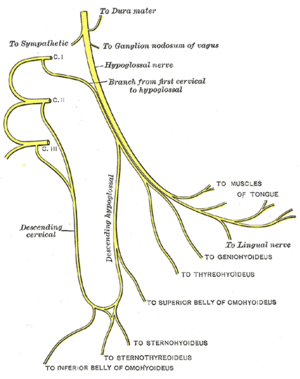 "Ansa cervicalis - Ansa cervicalis. Superior root labeled as ""descending hypoglossal"", Inferior root labeled as ""descending cervical""."
