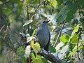 Gray Catbird. Dumetella carolinensis (38481400341).jpg