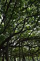 Great Banyan Tree - Indian Botanic Garden - Howrah 2012-09-20 0065.JPG