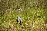 Great Blue Heron 1.jpg