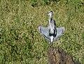 Great Blue Heron Sunning (29755388395).jpg