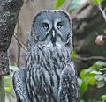 Great Grey Owl (15159082716).jpg