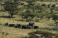 Great Migration in progress, the northern Serengeti (5) (27991928694).jpg