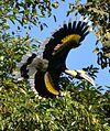 Great Pied Hornbill Buceros bicornis by Dr. Raju Kasambe (1).jpg
