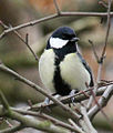 Great Tit 3 (3262772223).jpg