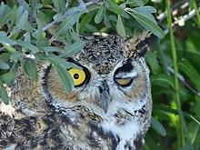 Great horned owl on Seedskadee National Wildlife Refuge (36475723884).jpg
