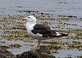 Greater Black-backed Gull Larus marinus (25355595348).jpg