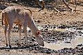 Greater Kudu (Tragelaphus strepsiceros) female drinking ... (33043295736).jpg