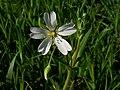 Greater Stitchwort (Stellaria holostea) (4514555632).jpg