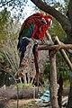 Green-Winged Macaw.jpg