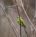 Green Bee eater at Kannur 2.jpg