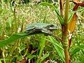 Green Treefrog (29257595241).jpg