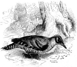 Green Woodpecker searching for insects, depicted in Scientific American Supplement, No. 492, June 6, 1885